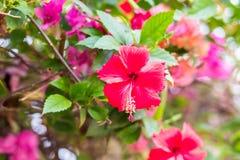 Poślubnika czerwony kwiat Zdjęcie Royalty Free