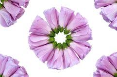 Poślubnika kwiat Zdjęcia Royalty Free