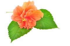 Poślubnika kwiat Zdjęcie Stock