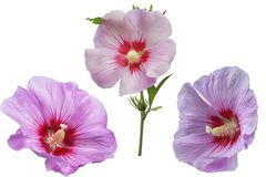 Poślubnika kwiatu set Obrazy Royalty Free