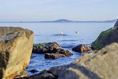 Połowów seagulls Obraz Royalty Free