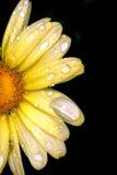 połowa daisy Zdjęcie Royalty Free