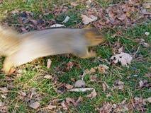 Pośpieszna wiewiórka Zdjęcie Royalty Free