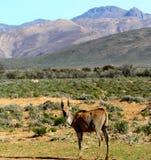 Południe - afrykanin Eland Zdjęcie Royalty Free
