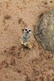 Południe - afrykanin Meerkat Fotografia Royalty Free