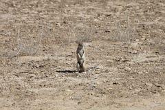 Południe - afrykanin ziemia, Xerus inauris, wiewiórka Fotografia Royalty Free
