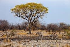 Południe - afrykanin zmielona wiewiórka, Kalahari Zdjęcie Stock