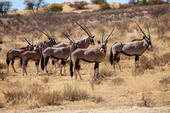 Południe - afrykanin zmielona wiewiórka, Kalahari Zdjęcia Stock
