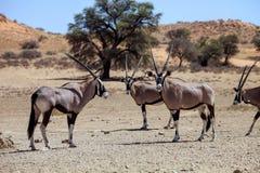 Południe - afrykanin zmielona wiewiórka, Kalahari Fotografia Royalty Free