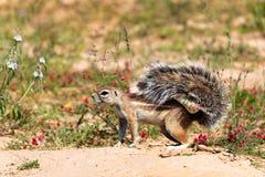 Południe - afrykanin zmielona wiewiórka w kwiecenie pustyni Kalahari Obrazy Royalty Free