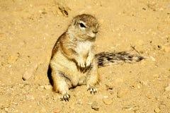 Południe - afrykanin zmielona wiewiórka, Xerus inauris Zdjęcie Stock