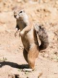 Południe - afrykanin zmielona wiewiórka - Xerus inauris - zegarka neighbourhood blisko Zdjęcie Royalty Free
