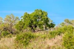 Południe - afrykanina krajobraz w Kruger parku Zdjęcia Stock