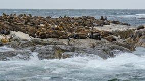 Południowa Afryka foki wyspa Obrazy Royalty Free