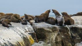 Południowa Afryka foki wyspa Fotografia Royalty Free