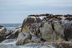 Południowa Afryka foki wyspa Obrazy Stock