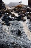 Południowa Afryka foki wyspa Zdjęcie Royalty Free