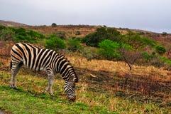 Południowa Afryka, Hluhluwe Imfolozi gry rezerwa, Natal Obraz Stock