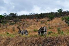 Południowa Afryka, Hluhluwe Imfolozi gry rezerwa, Natal Obrazy Royalty Free