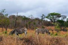 Południowa Afryka, Hluhluwe Imfolozi gry rezerwa, Natal Obraz Royalty Free
