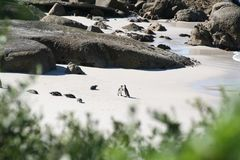 Południowa Afryka przyrody i krajobrazu pinguin Zdjęcia Royalty Free