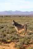 Południowa Afryka zebra Obraz Stock