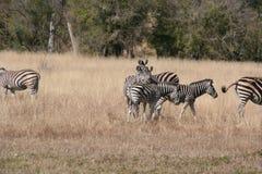 Południowa Afryka zebra Zdjęcia Stock