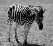 Południowa Afryka zebra Obrazy Royalty Free