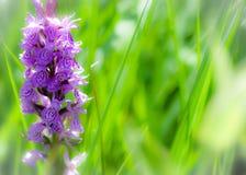 południowa bagno orchidea Obrazy Stock