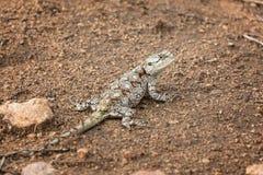 Południowa Drzewna Agama jaszczurka Zdjęcia Stock