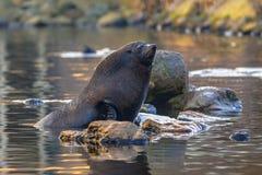 południowa futerkowa foka Fotografia Royalty Free