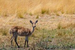 Południowa lechwe Afryka safari przyroda i pustkowie Obrazy Stock
