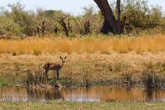 Południowa lechwe Afryka safari przyroda i pustkowie Zdjęcia Stock
