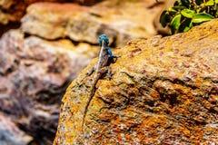 Południowa Rockowa Agama jaszczurka lub Agama Atra, Obraz Stock