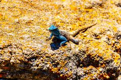 Południowa Rockowa Agama jaszczurka lub Agama Atra, Zdjęcia Stock