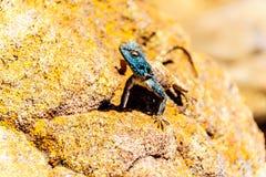Południowa Rockowa Agama jaszczurka lub Agama Atra, Obrazy Royalty Free
