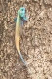 południowy agama drzewo Zdjęcie Stock