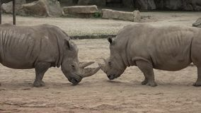 Po?udniowy bia?ej nosoro?ec Ceratotherium simum simum Przyrody zwierz? Krytycznie zagra?aj?cy zwierz?cy gatunki zbiory wideo