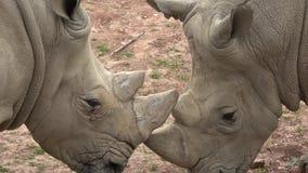 Po?udniowy bia?ej nosoro?ec Ceratotherium simum simum Przyrody zwierz? Krytycznie zagra?aj?cy zwierz?cy gatunki zdjęcie wideo
