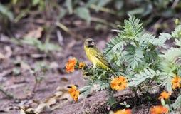 Południowy Citril Crithagra hyposticta w ogródzie w Tanzania Fotografia Royalty Free