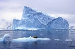 Południowy dennego lwa dosypianie na lodowym floe z lodowami i góry lodowa w raju Ukrywamy, Antarctica Zdjęcie Royalty Free