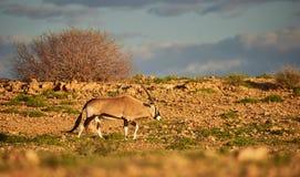 Południowy oryx, Oryx gazella Zdjęcie Royalty Free