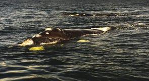 Południowy Prawy wieloryb Zdjęcie Royalty Free