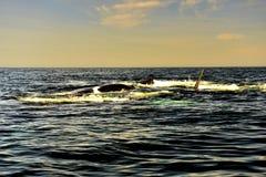 Południowy Prawy wieloryb Obrazy Royalty Free