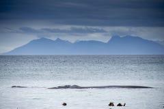 Południowy prawy wieloryb w piechur zatoce Zdjęcie Stock