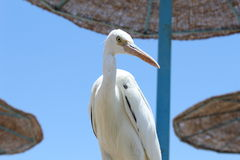 Południowy seabird Obrazy Royalty Free