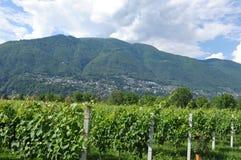 Południowy Szwajcaria: Wino jardy w Maggia Rzecznej delcie blisko Asc zdjęcie royalty free