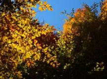 Połysk jesieni las Fotografia Royalty Free