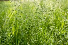 Poa ευρωπαϊκή χλόη λιβαδιών pratensis πράσινη Στοκ εικόνες με δικαίωμα ελεύθερης χρήσης