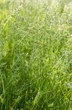 Poa ευρωπαϊκή χλόη λιβαδιών pratensis πράσινη Στοκ Φωτογραφίες